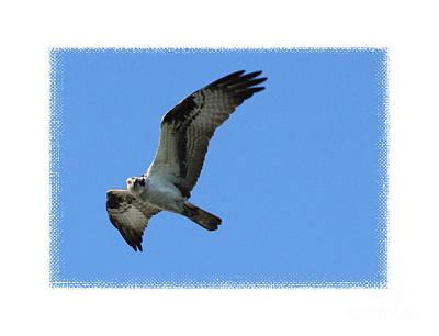 Osprey Digital Art - Flying Osprey With Framing by Carol Groenen