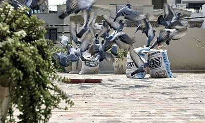 Flock Of Birds Photograph - Flying Pigeons  by Sumit Mehndiratta