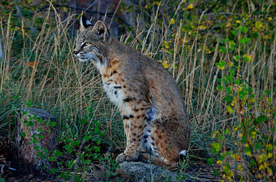 Bobcat Photograph - Focused On The Hunt by Tranquil Light  Photography