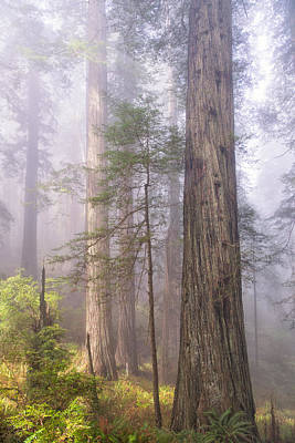 Fog And Tall Trees Print by Patricia Davidson