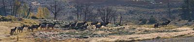 Harem Photograph - Follow The Leader - Elk In Rut by Mark Kiver