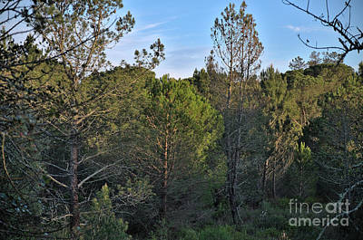 Ludo Photograph - Forest Pine Trees At Sunset In Ludo by Angelo DeVal
