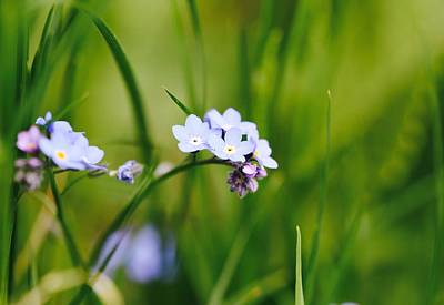 Vergissmeinnicht Photograph - Forget-me-not  by Andrea Lastin