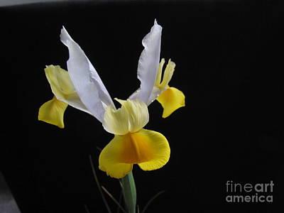 Iris  Flower Print by Joyce Woodhouse