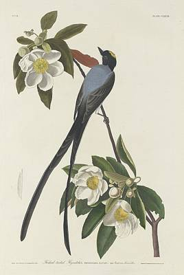 Flycatcher Drawing - Forked-tail Flycatcher by John James Audubon