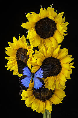 Yellow Butterfly Photograph - Four Sunflowers And Blue Butterfly by Garry Gay