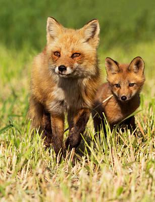 Fox Family Print by Mircea Costina Photography