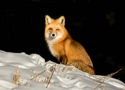 Fox In Snow #1 Print by Mindy Musick King