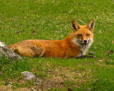 Nature Photograph - Fox In Waiting by Brian Caldwell