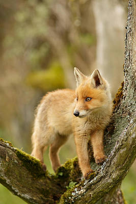 Fox Kit In A Tree Print by Roeselien Raimond