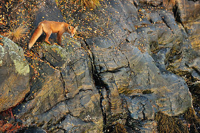 Fox On The Rocks Print by Yves Adams