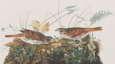 Berry Drawing - Fox Sparrow by John James Audubon