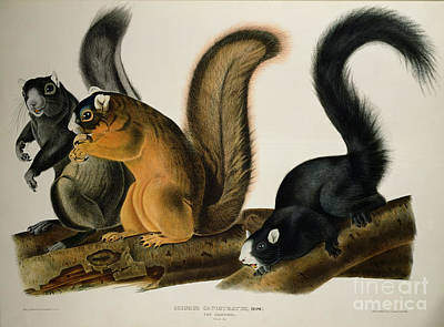 Squirrel Drawing - Fox Squirrel by John James Audubon