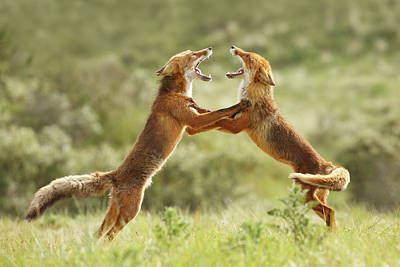 Fox Photograph - Fox Trot - Red Foxes Fighting by Roeselien Raimond