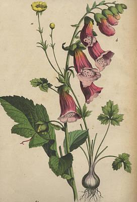 Foxglove And Buttercup Print by German Botanical Artist