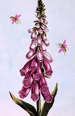 Bell Drawing - Foxglove by Pierre-Joseph Buchoz