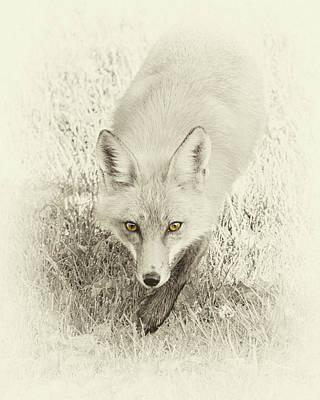 Fox Photograph - Fox's Gaze by Brian Caldwell