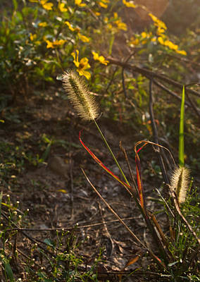 West Fork Photograph - Foxtail Glowing In Sun by Douglas Barnett