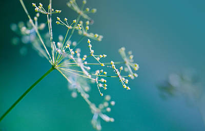 Stalk Photograph - Fragile Dill Umbels by Nailia Schwarz