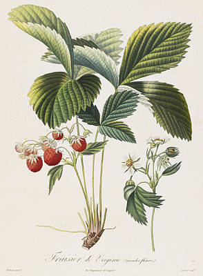 Berry Drawing - Fraisier De Virginie  by Pierre Antoine Poiteau