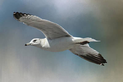 Seagull Photograph - Free Bird - Seagull In Flight by HH Photography of Florida
