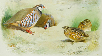 French Partridge And Chicks Print by Archibald Thorburn