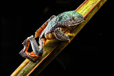 Fringe Tree Frog - Amazon Rain Forest Print by Dirk Ercken