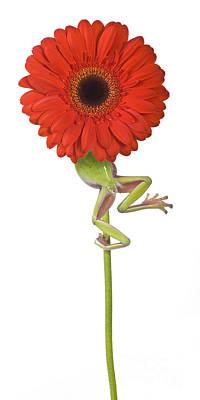 Frog And Gerbera Daisy Print by Jean-Louis Klein & Marie-Luce Hubert