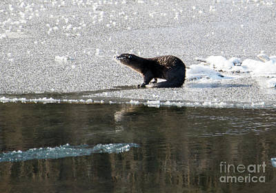 Frosty River Otter  Print by Mike Dawson