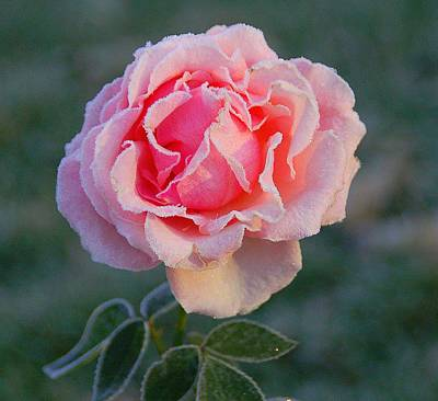 Frosty Rose Print by Monica Lewis