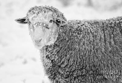 Sheep Photograph - Frozen Dinner by Mike  Dawson