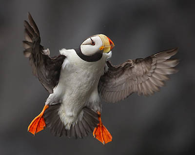 Puffins Photograph - Full Flaps ! by Alfred Forns