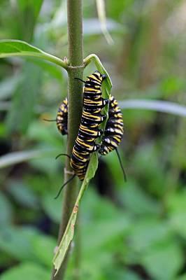Butterfly Photograph - Future Monarchs by Michiale Schneider