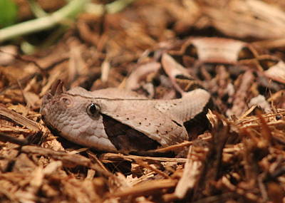 Viper Photograph - Gaboon Viper by Dana  Oliver