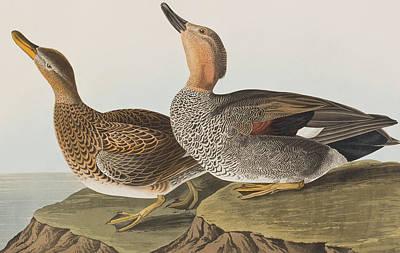 Duck Drawing - Gadwall Duck by John James Audubon