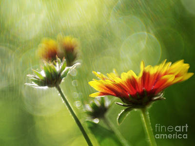 Gaillardia After The Rain Print by Dorothy Lee