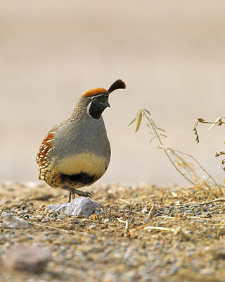 Birds Photograph - Gambel's Quail by Gary Langley