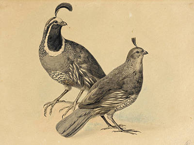 Drawing - Gamble Quail by Charles Christian Nahl