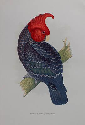 Cockatoo Drawing - Gang-gang Cockatoo - 1884 by Greene's Parrots