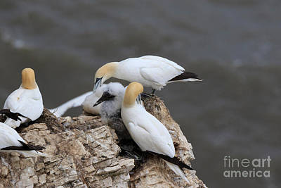 Bird Photograph - Gannets Tend Their Chicks On A Clifftop Nest by Louise Heusinkveld