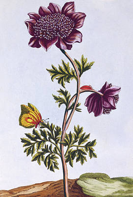 Windflower Painting - Garden Anenome  Windflower by Pierre-Joseph Buchoz