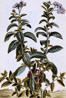 Cherry Drawing - Garden Heliotrope by Pierre-Joseph Buchoz