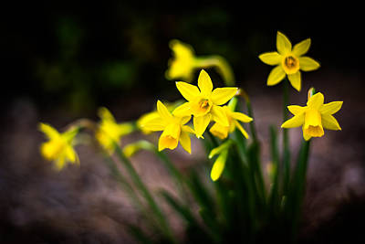 Blue Begonia Photograph - Garden Of Daffodils by Shelby Young
