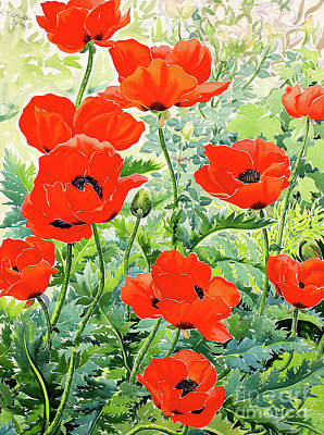 Watercolour Drawing - Garden Red Poppies by Christopher Ryland