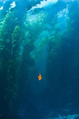 Garibaldi Fish In Giant Kelp Underwater Print by James Forte