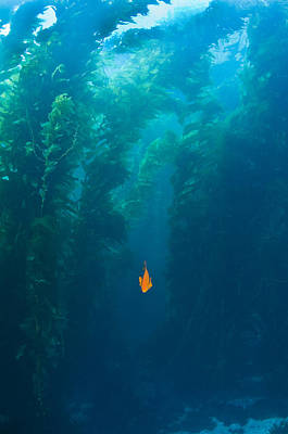 California Ocean Photograph - Garibaldi Fish In Giant Kelp Underwater by James Forte
