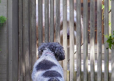 Miniature Collie Photograph - Gate Encounter by Keith Armstrong