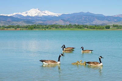 Blue Photograph - Geese Goslings And The Twin Peaks - Longs And Meeker by James BO  Insogna