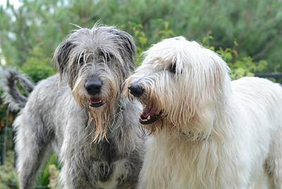 Irish Wolfhound Photograph - Gentle Giants  by Fraida Gutovich