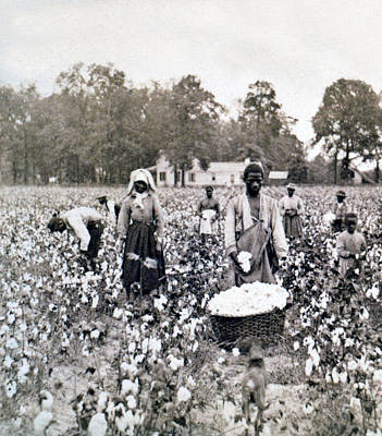 Pickers Photograph - Georgia Cotton Field - C 1898 by International  Images